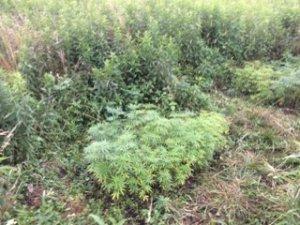 zabezpieczone krzewy konopi